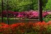 Azaleas 2<br /> <br /> (C) J.L. McPhail Photography, Spotlightpicture.com