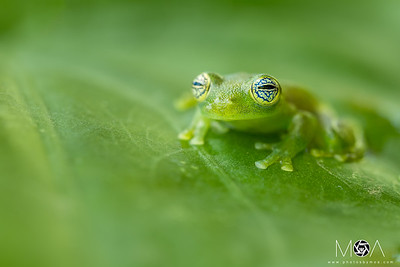 Ghost Glass Frog