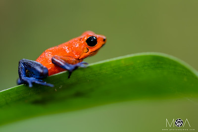 Strawberry Poison-dart Frog