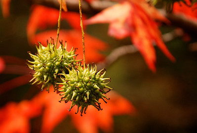 Sweetgum Tree Fruit, Fall in East TN