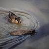 2021-03-06 Boardman Wetlands-2