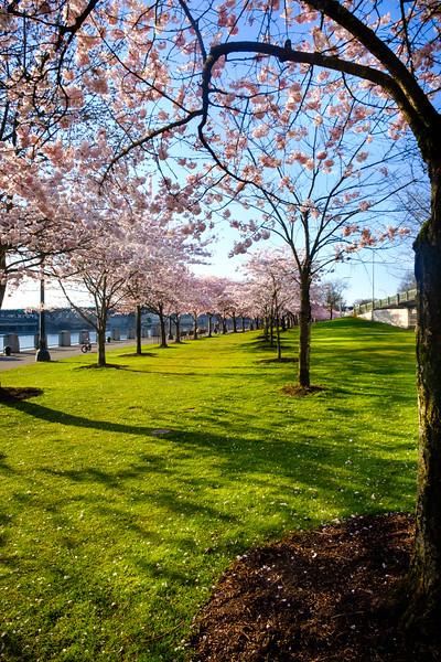 2020-03-15 Cherry Blossoms Walk-42