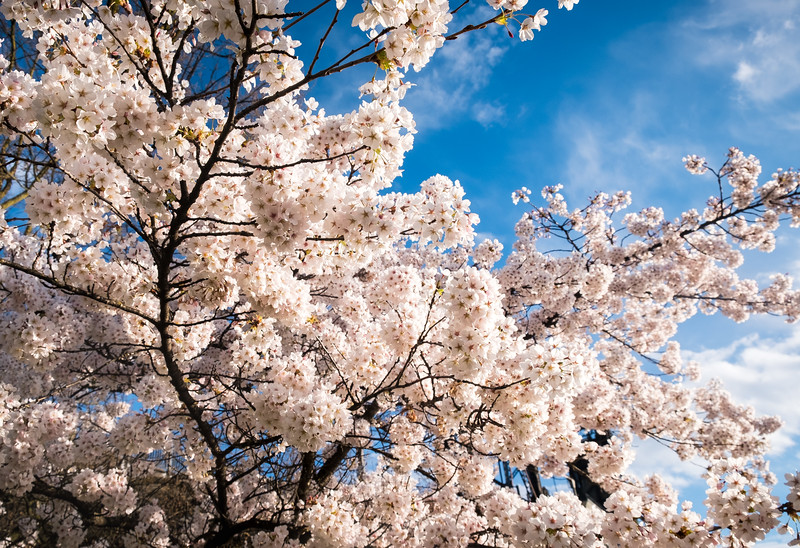 2020-03-15 Cherry Blossoms Walk-34
