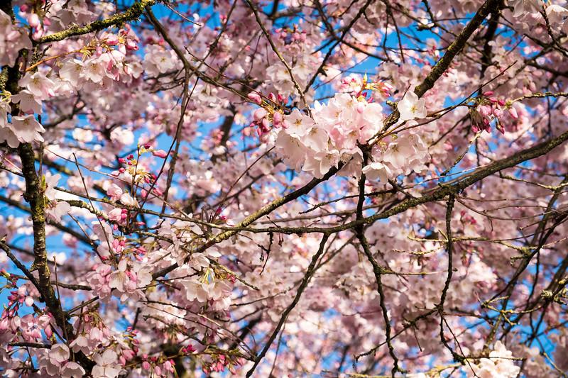 2020-03-15 Cherry Blossoms Walk-8