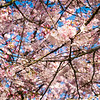 2020-03-15 Cherry Blossoms Walk-8