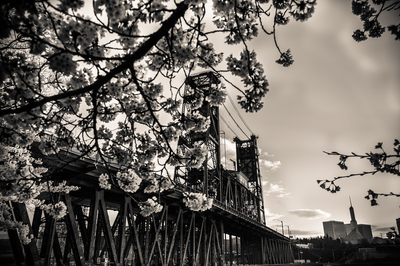 Cherry Blossoms (16)