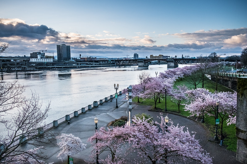 Cherry Blossoms (14)