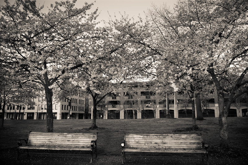 Cherry Blossoms (24)