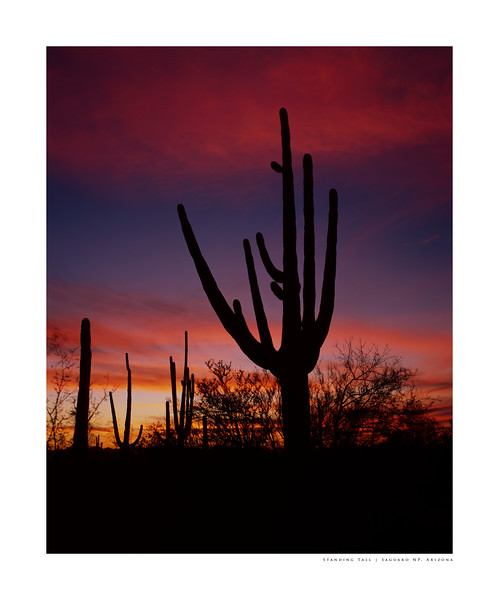 Standing Tall | Saguaro NP, Arizona