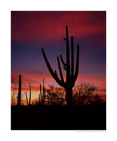 Standing Tall | Saguaro NP, Arizona