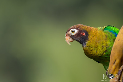 Brown-hooded Parrot Eating Plantain