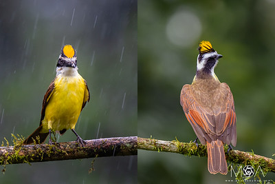 Great Kiskadee Crown
