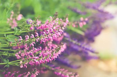 Spring Salvia