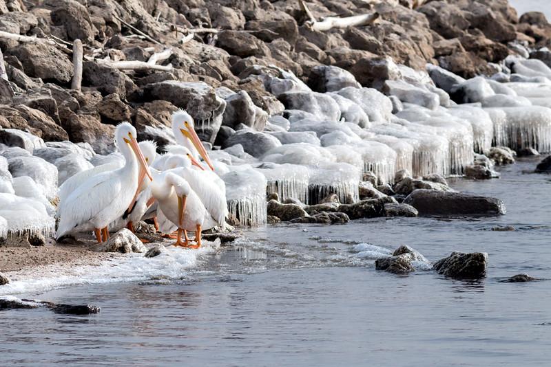 Cold Pelicans