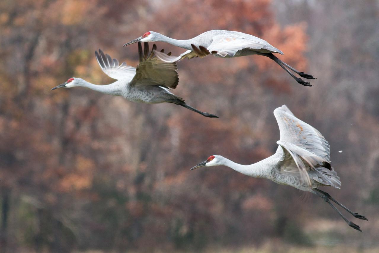 Cranes in flight #2