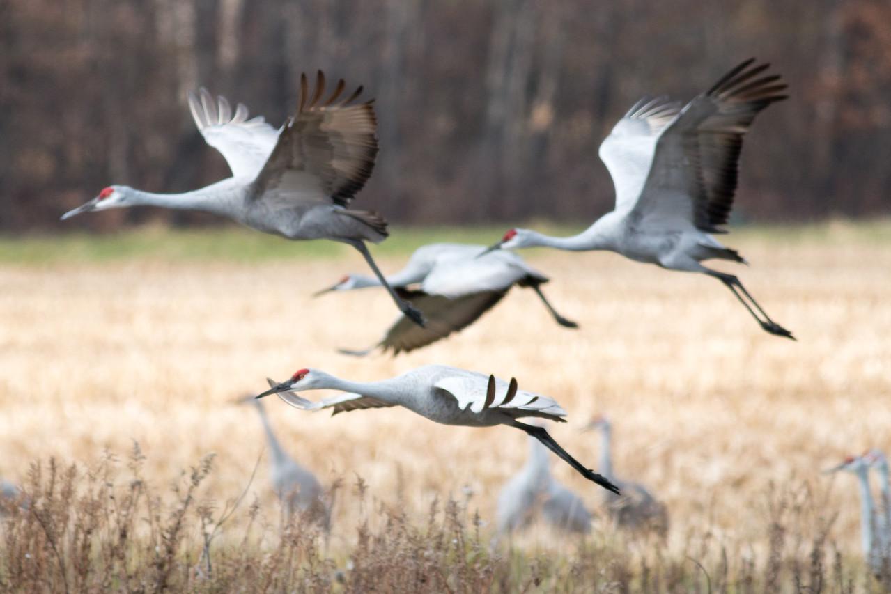 Cranes in flight #1