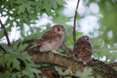 Young Eastern Screech Owl