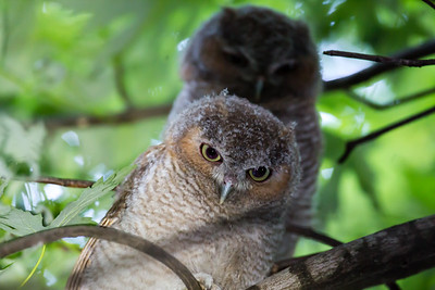 Young Eastern Screech Owls