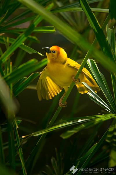 Weaver Bird - Jurong Bird Park, Singapore