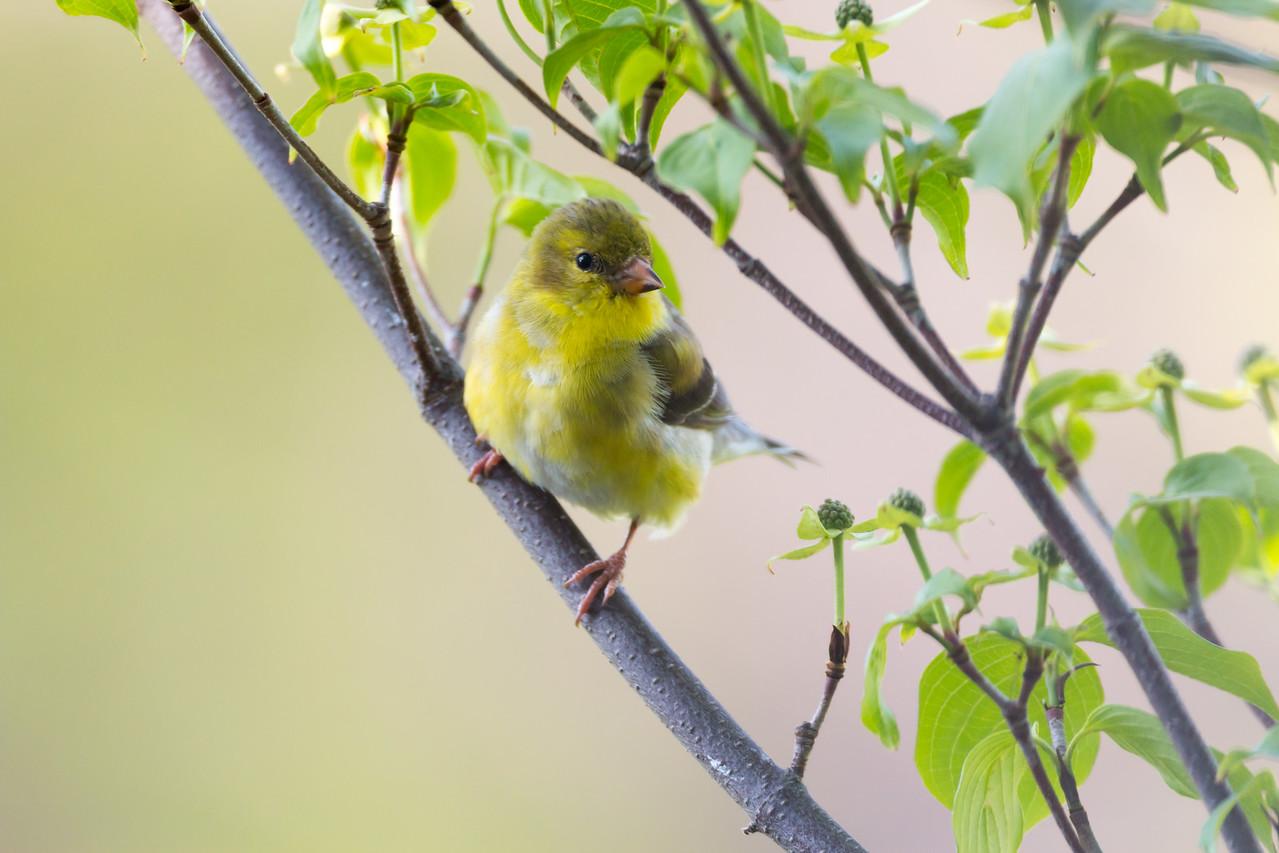 Yellow Finch