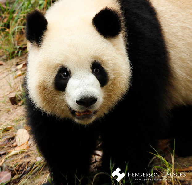 One happy panda at the Chengdu Research Base of Giant Panda Breeding.