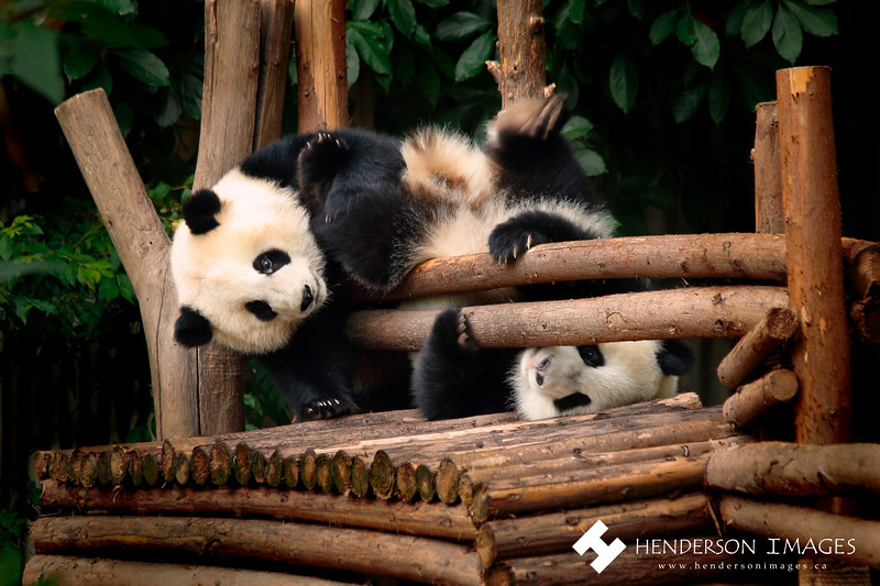 Pandas play around at the Chengdu Research Base of Giant Panda Breeding.