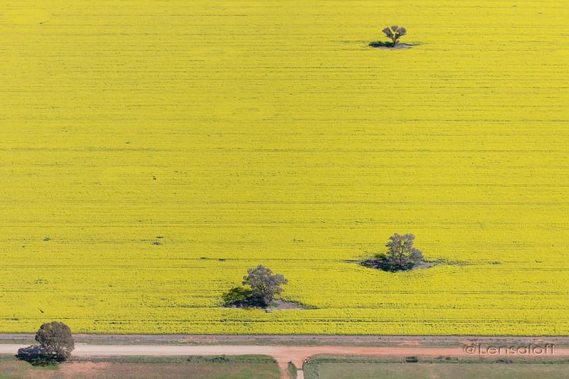 Canola Fields - Parkes, NSW