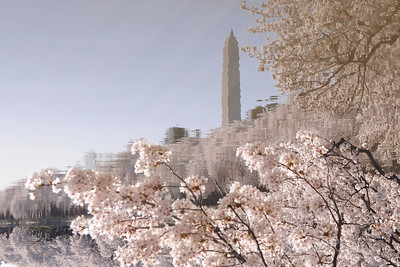 Washington Monument reflected with cherry blossoms