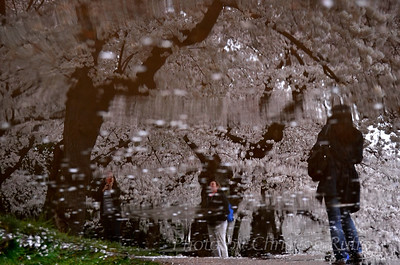 Early morning strollers and cherry blossoms reflected in a rain puddle.