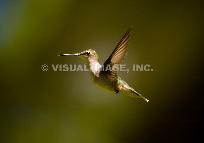Hummingbird - Stock