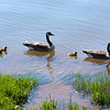 Canadian Geese - Stock