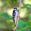Downy Woodpecker - Stock