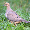 Mourning Dove - Stock