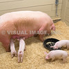 Pig and Piglets - Stock