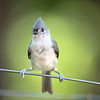 Tufted Titmouse - Stock