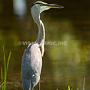 Geat Blue Heron - Stock