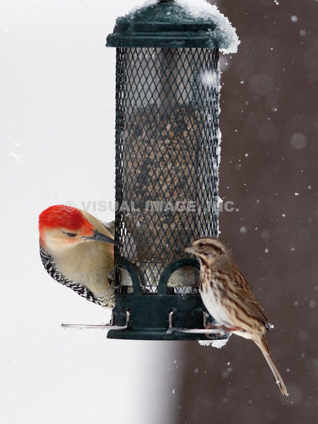 Northern Flicker and Song Sparrow - Stock