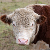 Beef Cattle - Stock