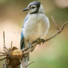 Blue Jay - Stock