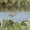 Eastern Willet - Stock