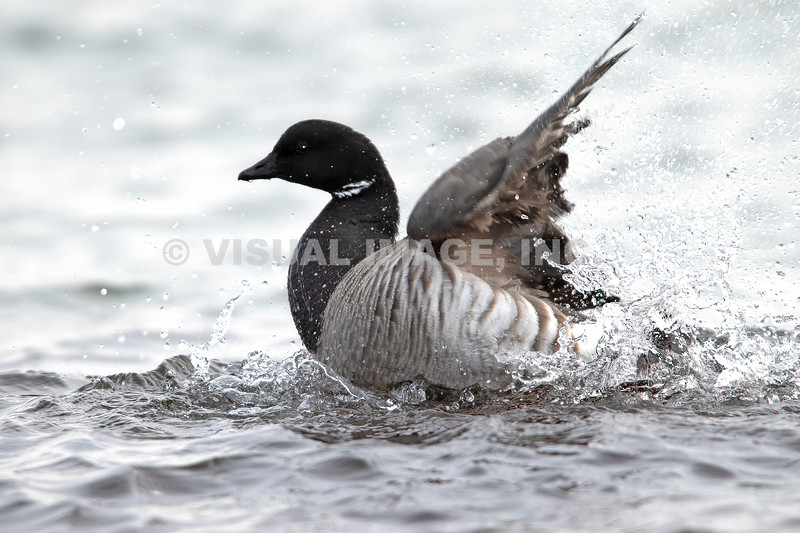 Pale-Bellied Brant - Stock