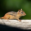 Chipmunk - Stock