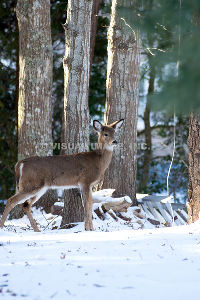 Northern White Tail Deer - Stock
