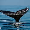 Humpback Whale - Stock