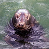 Grey Seal - Stock