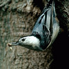 Nuthatch - Stock