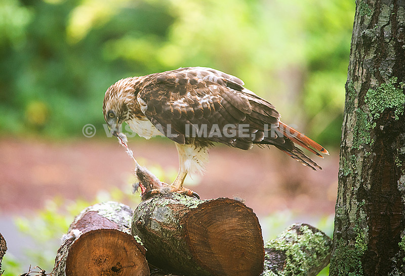 Red Tail Hawk - Stock