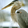 Great Blue Heron - Stock