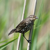 Red Winged Blackbird - Stock