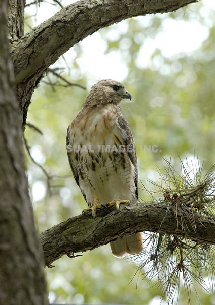 Red Tailed Hawk - Stock